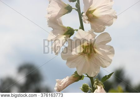 White Mallow Blooms Flowers Of Alcea Rosea