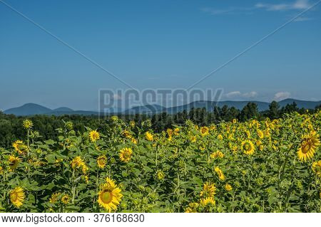 Sunflower Field Full Of Emerging Flowers Just Opening With The Vibrant Blue Sky Trees And Mountains