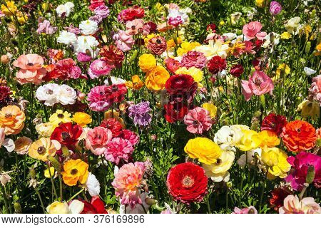 The field of large spring buttercups. Sunny spring day. The southern border of Israel, a kibbutz field. Gorgeous multicolor floral carpet. The concept of botanical, environmental and photo tourism