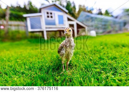 A Little Pheasant Chick In Front Of A Blue Chicken House