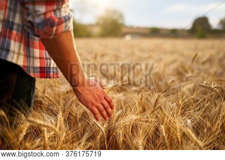 Farmer Touching Ripe Wheat Ears With Hand Walking In A Cereal Golden Field On Sunset. Agronomist In