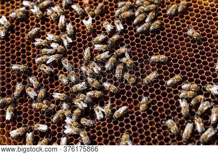 Honeycomb With A Swarm Of Bees Making Honey In An Apiary, Selective Focus