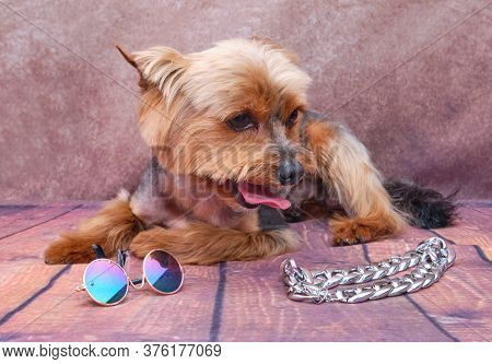 A Yorkshire Terrier Dog On A Vintage Background. Funny Portrait Of A Pet. Next To The Dog Is A Chain
