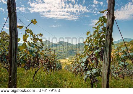 Vineyard, Rows Of Vine At Highland Georgian Region Racha
