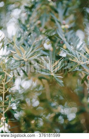 A Close-up Of Blue Fox Trees On The Branches. A Small Depth Of Field.