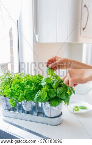 Close Up Womans Hand Picking Leaves Of Basil Greenery. Home Gardening On Kitchen. Pots Of Herbs With