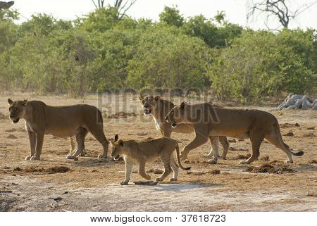 Lionesses and their cub