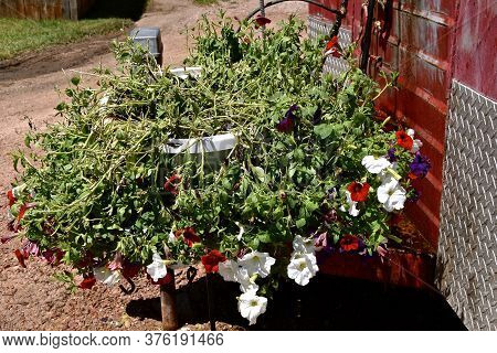 A Huge Pot Full Of Beautiful Blooming Flowers Is Hammered After A Rainstorm Of Four Inches Of Rain A