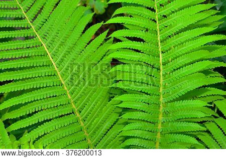 Leaves Of A Garden Fern Growing On A Flower Bed.