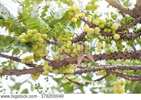 Star Gooseberry Or Phyllanthus Acidus On Tree In The Garden On Blur Nature Background.