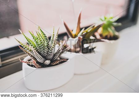 Close-up Of Small Succulent Plants Indoor On Window Seal Shot At Shallow Depth Of Field