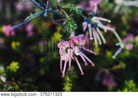 Native Australian Pink Grevillea Plant Outdoor With Frost Droplets Shot At Shallow Depth Of Field
