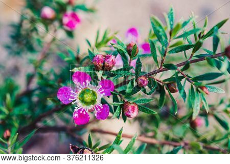 Pink Tea Tree Plant Outdoor In Sunny Backyard Shot At Shallow Depth Of Field