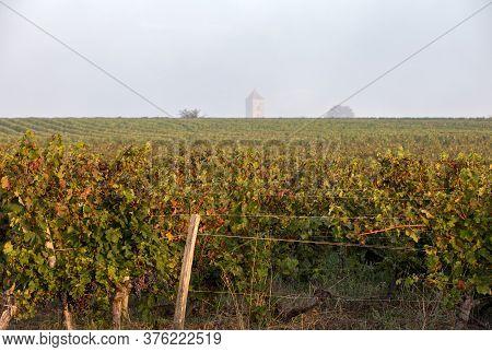 Morning Light In The Vineyards Of Saint Georges De Montagne Near Saint Emilion, Gironde, France