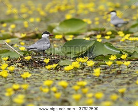 Whiskered tern ( Chlidonias hybridus ) on the yellow water lilly's field