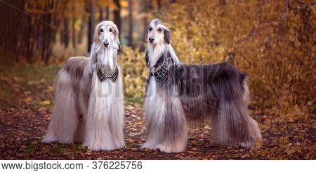Two Magnificent Afghan Hounds, Similar To Medieval Lords, With Hairstyles And Collars Stylish, Gorge