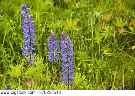 A Few Bright Purple Lupines Against A Background Of Green Foliage.