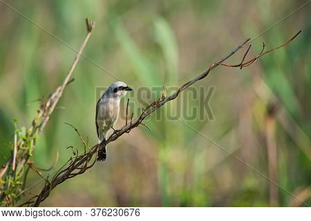Beautiful Red-backed Shrike, Wild Bird Sits On A Twig