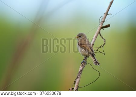 Cute Little Bird European Penduline Tit Sits On A Reed