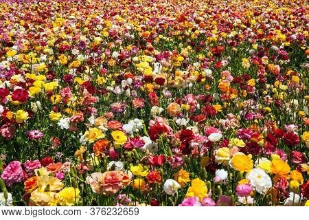 The field of luxurious large spring buttercups. Israel. Beautiful day. The southern border of Israel. Picturesque multicolor floral carpet. The concept of botanical, environmental and photo tourism