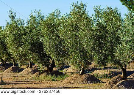 Traditional Plantation Of Olive Trees Grove. Spanish Nature Landscape