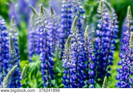 Blurred Background. Blue Lupin Flowers In Close-up Against A Green Meadow
