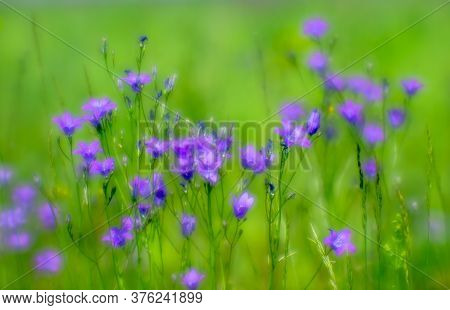 Blurred. Pink Bluebell Flowers Grow In A Green Meadow. Abstract Natural Background.