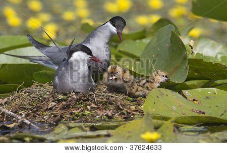 whiskered tern on the nest feeding chicks