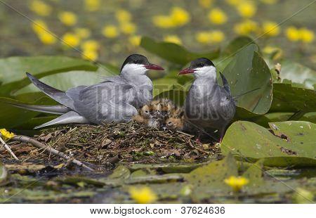 Whiskered tern ( Chlidonias hybridus ) family
