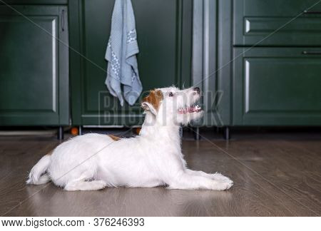 Jack Russell Dog Puppy Is Lying On The Floor In The Room