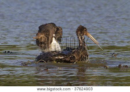 Black storks bathing