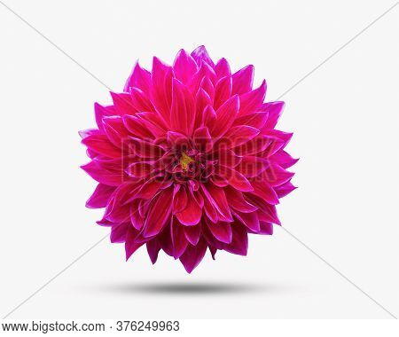 Dahlia Flower Beautiful Nature Close-up Concept Ideas. Isolated On White Background Clipping Path