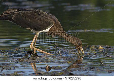 Black stork looking for food
