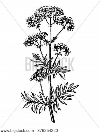 Valeriana Branch With Flowers And Leaves On Isolated Background. Plant Valerian Inflorescence Sketch