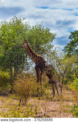 Exotic journey to the South Africa. The famous Kruger Park. Huge long-necked animals graze in the bushes of the African savannah. Giraffe portrait. The concept of ecological and photo tourism