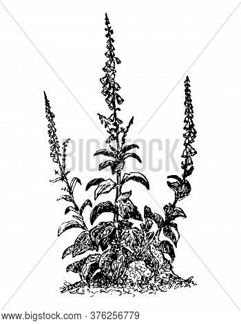 Digitalis Branch With Flower And Leaves On Isolated Background. Forest Foxglove Plant Sketch For Cos
