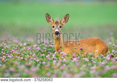 Young Roe Deer Buck With Little Antlers Looking From Clover During The Summer.