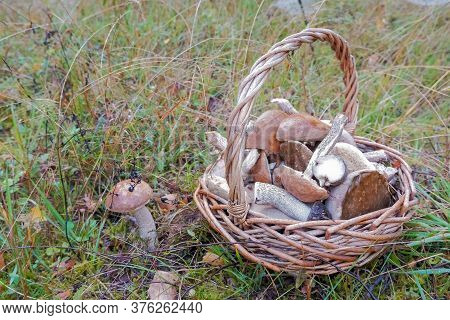 Full Basket Of Fresh Autumn Mushrooms Such As Boletus Scaber, Aurantiacus, Edulis.mushroom Boletus I