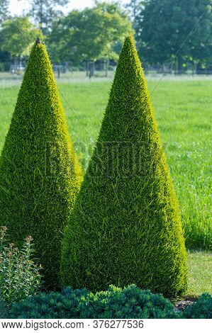 Well Groomed Green Conical Thuja Coniferous Trees In Garden