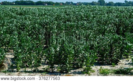 Plantation Of Broad Beans Or Vicia Faba Plants In Zeeland, Netherlands In Sunny Day