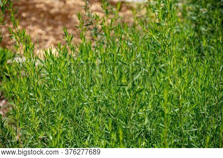 Botanical Collection Of Culinary Plants And Herbs, Tarragon, Artemisia Dracunculus Or Green Estragon