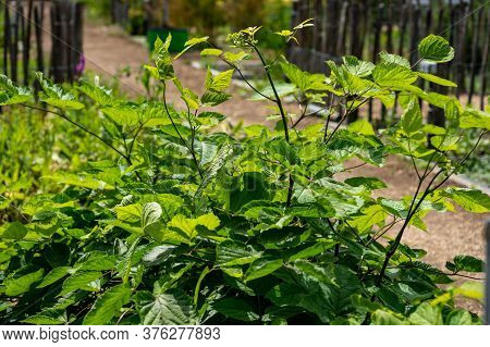 Botanical Collection Of Medicinal Plants And Herbs, Eleutherococcus Senticosus Or Devil's Bush, Sibe