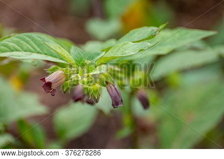 Botanical Collection Of Poisonious Plants And Herbs, Atropa Belladonna Or Belladonna Or Deadly Night
