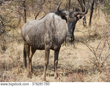 Closeup Of Solitary Blue Wildebeest (gnu) Standing In The Thick Bushveld In South Africa