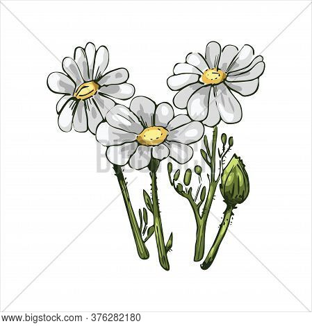 Chamomile Or Camomile Daisy-like Plant Of Family Asteraceae Vector Illustration. Blooming Flowers An