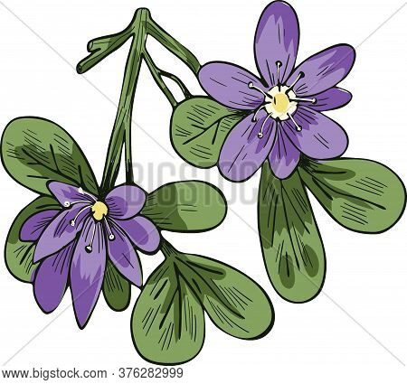 Guaiacum Vector Illustration Isolated On White. Lignum-vitae, Guayacan, Or Ga Ac, Blue Flowers And G