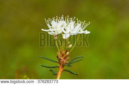Flowering Rhododendron Tomentosum,  Wild Rosemary