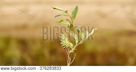 Downy Willow