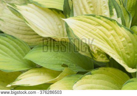 Hosta Plant In A Decorative Formal Garden