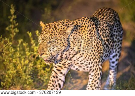 African Leopard (panthera Pardus) Walking In Darkness On Savanna In Kruger National Park, South Afri